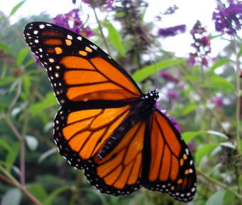 A dónde se fueron las mariposas monarcas