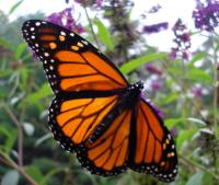 Where Have All the Monarchs Gone and What We Can Do About It